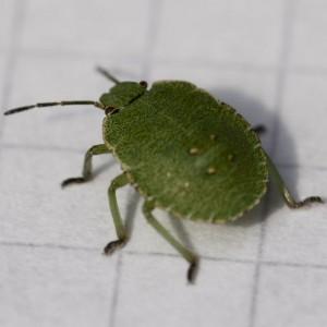 walker-bug-IMG_5855